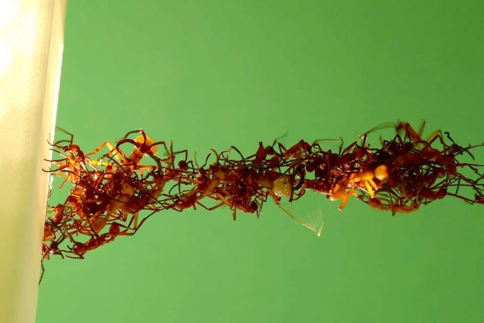 Ant Army Gallery
