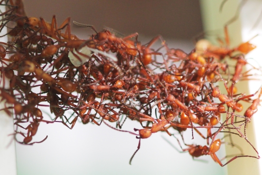 Ants That Don't Just Build Architecture, They Become It